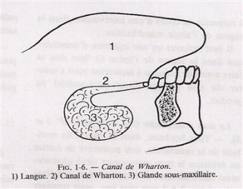 Les glandes salivaires: anatomie, physiologie et pathologie ...